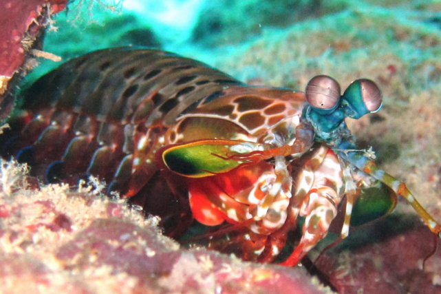 Mantis shrimp, a truly amazing creature