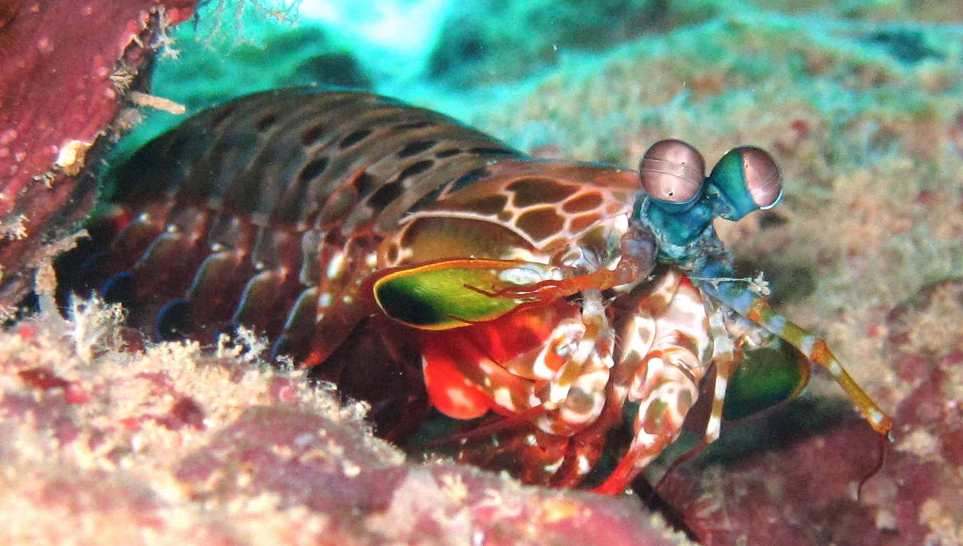 Mantis shrimp, a truly amazing creature