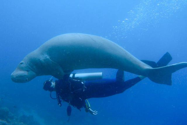 Dugong, native of Vanuatu