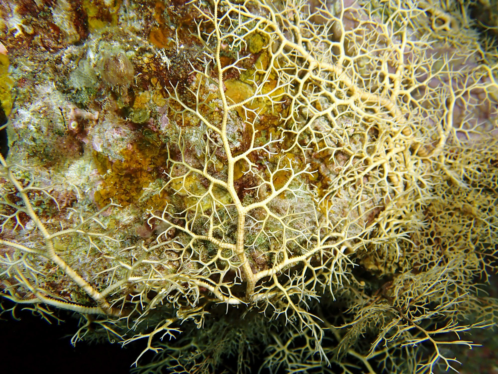 Basket star seen on night dive